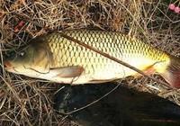 野釣鯉魚簡單的小總結