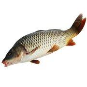 【技巧-钓鲤鱼】夏季野河夜钓鲤鱼