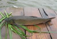 草窩釣草魚經驗分享