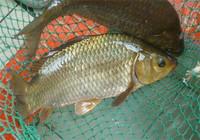 老釣友分享深秋釣鯽魚的三大要點!