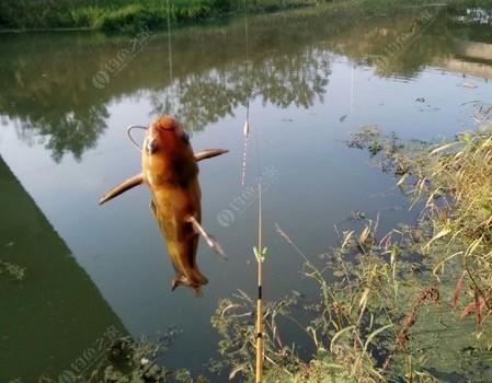 弯弓断线爆竿不是鱼,便宜手竿小河拉小鱼!