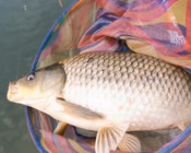 《麥子釣魚》釣鯽魚可以把3.5H的魚竿拉到大彎弓,這是鯽魚成精了嗎?