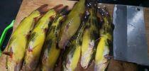 对黄骨鱼鱼口影响最大的可能还是水温