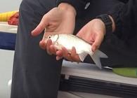 《白条游钓》 白条游钓草冲水库,这野生鲫鱼连杆,真的难得!