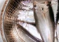《麦子钓鱼》钓鱼实战 白天麦穗劫 晚上虾闹窝 这种策略马口、鲫鱼双丰收!