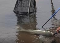 《白条游钓》白条游钓城东湖,万亩水域苦守大鱼,玉米窝子发了,连竿黄金草鱼