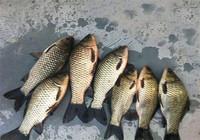 冬季想要釣鯽魚,了解這幾點輕松上魚!