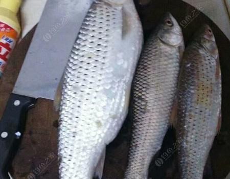 周末再戰東江,收獲紅眼,另外一尾花羅非魚