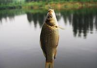冬季野钓鲫鱼,必须掌握的打窝诱鱼技巧!