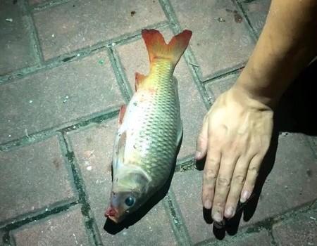 爺倆作釣富春江,魚獲不多三條爆護,個個都是極品!