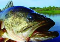 路亚高手分享钓淡水鲈鱼的几大技巧!