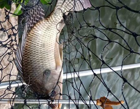 为了鱼丸的梦想,出发狩猎海鲢