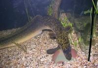 垂钓刺鳅的四个要点