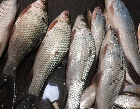 钓友们:如何在春季收割冲劲十足的鲮鱼!