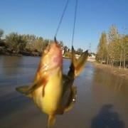 結廬黃河邊  垂釣黃河里 黃河野釣黃顙魚技巧分享