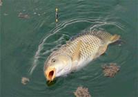 暖春作釣鯉魚的必備技巧!