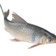 【818】分享一些釣土鯪魚的實戰經驗,及常用餌料