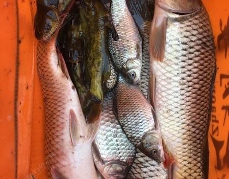 陰雨天崇明臺釣鯉魚連桿  板鯽昂刺統統來報到爆護