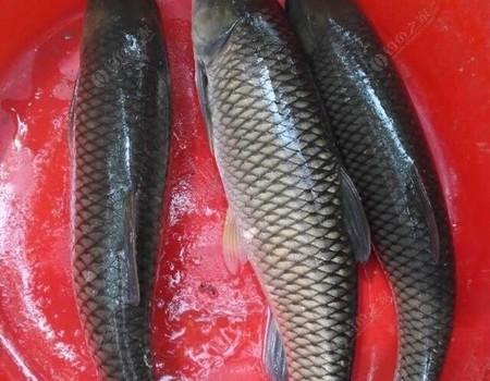 夏季釣草魚,玉米這樣簡單加工一下,比啥都好用,魚口連到手抽筋