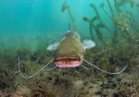 大口鯰魚垂釣技巧