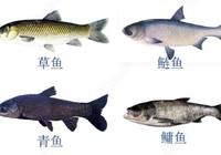 四大家鱼的来历与钓法