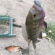 老釣友分享如何避開小羅,專釣大羅非魚