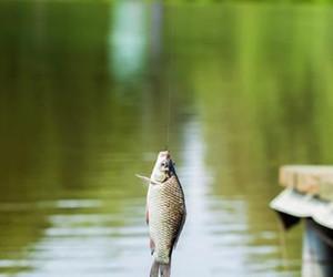 夏季作钓大板鲫,想要鱼获也不难~