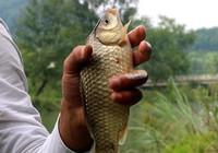夏季釣鯽有講究,這些技巧不可少!