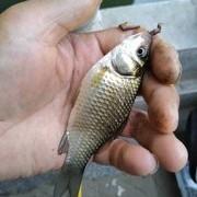 简单聊聊四大家鱼的来历与钓法