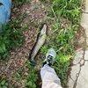 马赖古子钓黑鱼