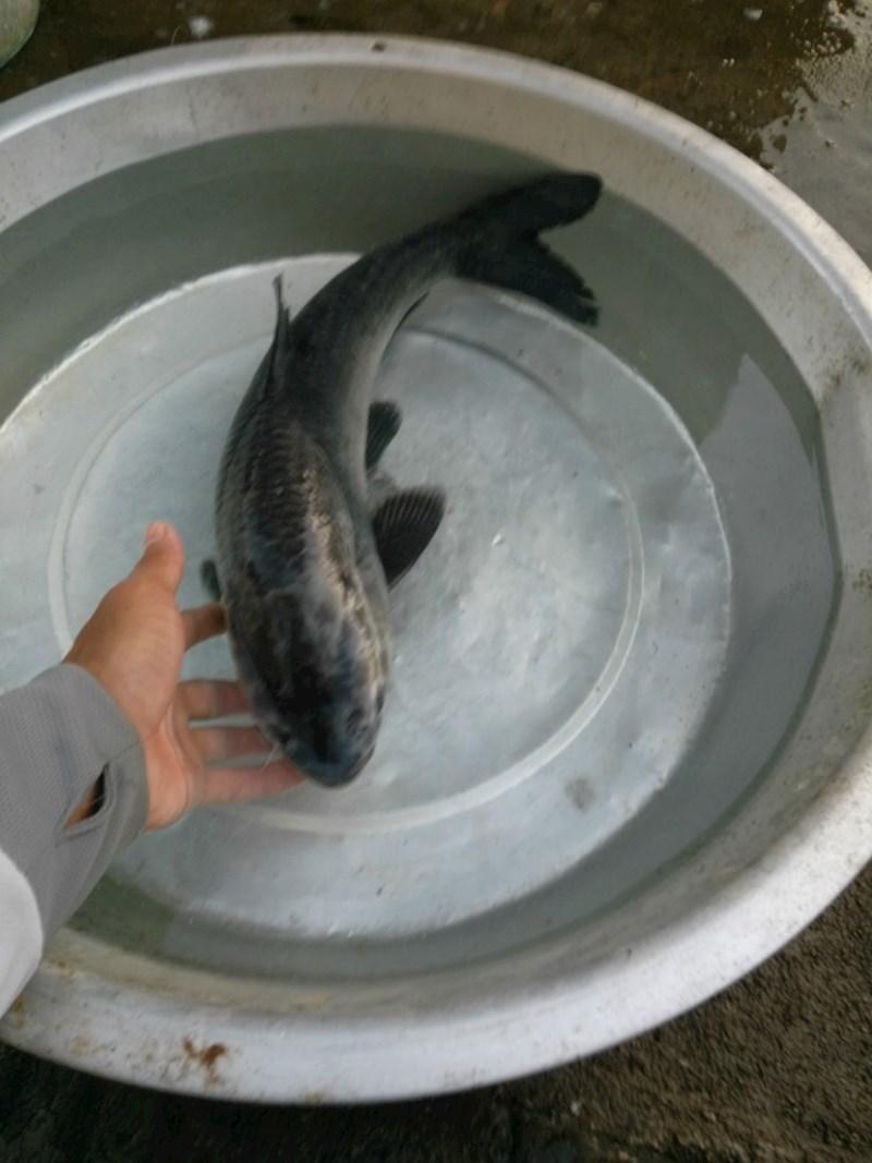 水库翻板之初遇小青鱼