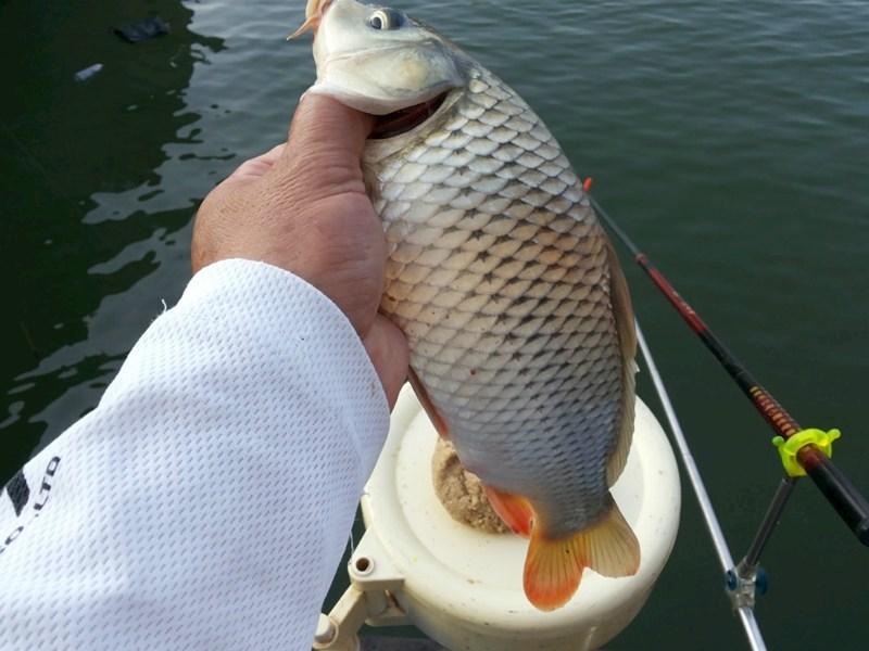 八月第5钓——筏竿上大鱼,手竿上小鱼