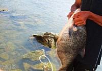 钓友在韩江梅州段钓获超大鳊鱼