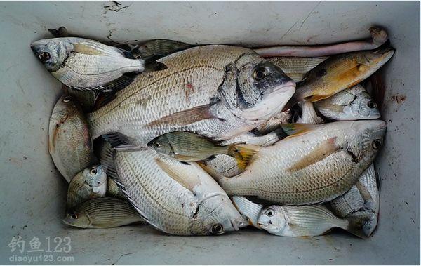 下海釣近2斤的大黑鯛魚獲多多