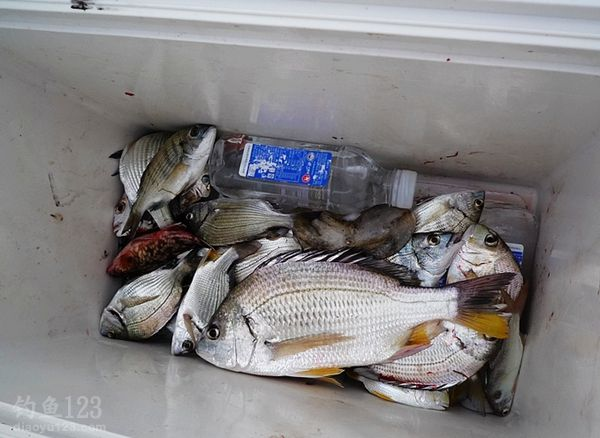 下海钓近2斤的大黑鲷鱼获多多