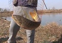 《垂钓对象鱼视频》冬季垂钓黄河故道5.4米手竿钓获20斤大鲤鱼视频