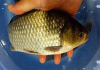 废塘商品饵料搭配钓鱼喜得意外鱼种