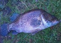 冬天钓水库最后一竿钓获8斤大鳜鱼