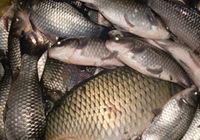 冬至夜釣野河鯽魚連連上鉤喜開顏