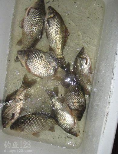 开冰凿洞寻鱼群冰钓鱼货也不错