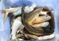 好天气外出野塘钓鱼狂拉渔获多多