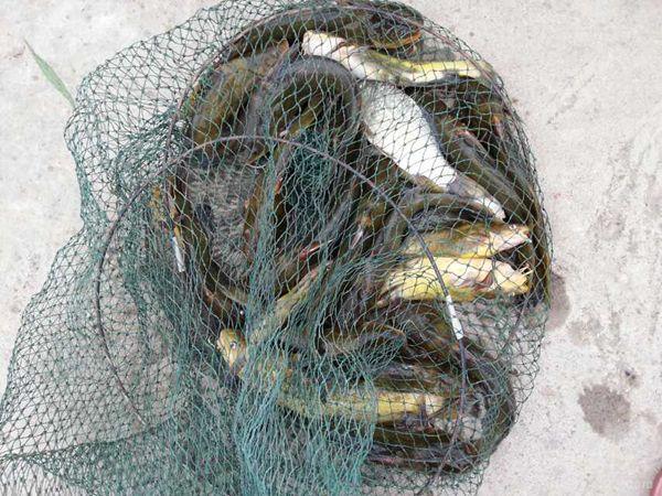黄颡鱼爆护