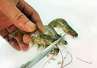 筏钓用鱼饵南极虾和基围虾的制作