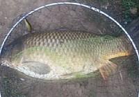 水库路亚黑鱼意外中得8斤重大鲤鱼