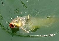 玉米面加商品饵钓鲤鱼