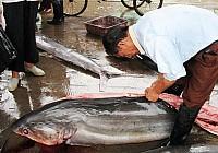 现场宰杀鲨鱼图片(血腥)
