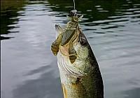 陌生水域路亚鲈鱼如何选择拟饵