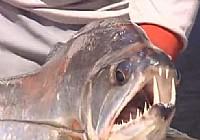 《荒野垂钓》第12集 巴西乌拉瑞克拉河