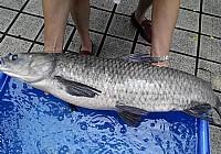 【实战技巧】七米二手竿鱼塘钓获四条大青鱼