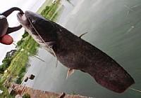 影响鲶鱼觅食的几个因素